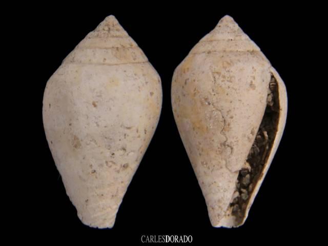 Conus sp