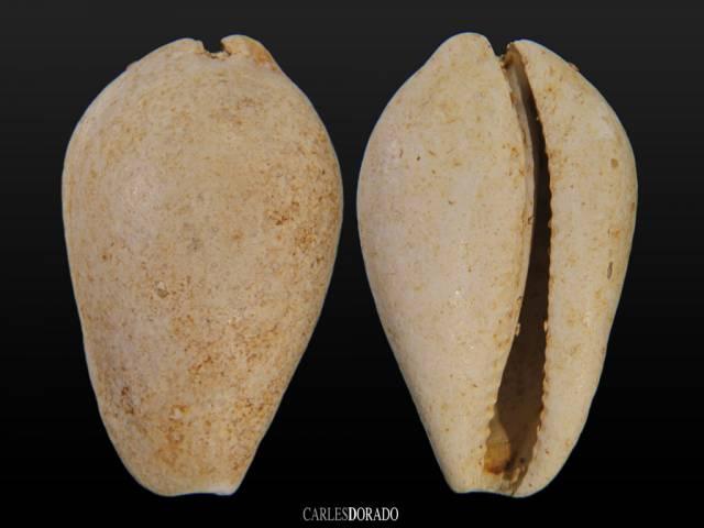 Mandolina rhomboides