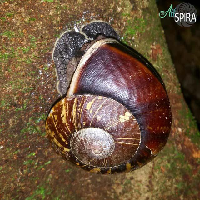 Alive Dyakiidae