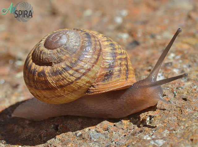 Alive Helicidae