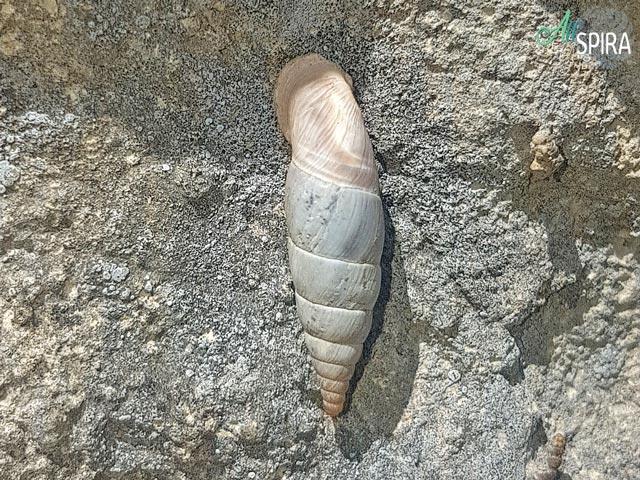 Alive Clausiliidae