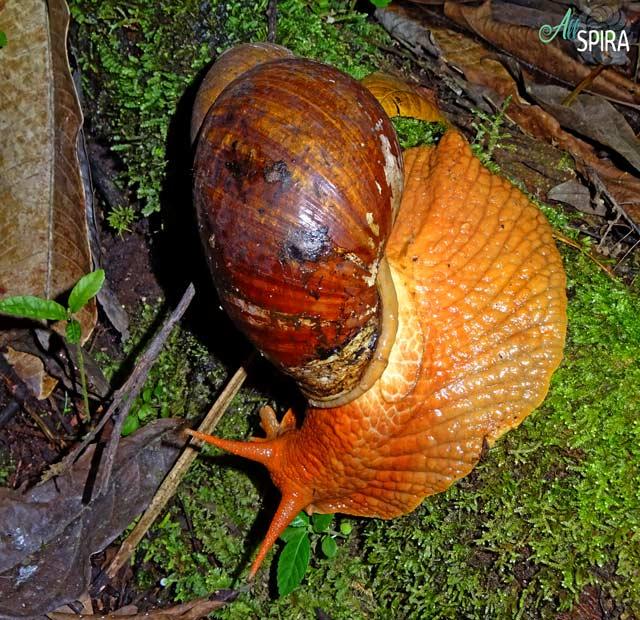 Alive Megalobulimidae