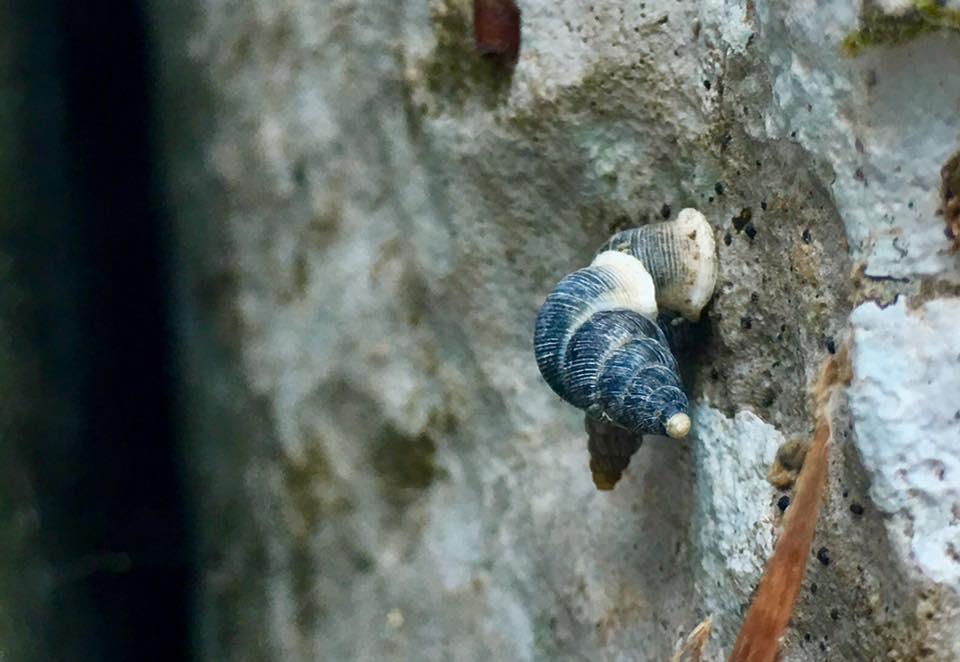 Alive Cochlostomatidae