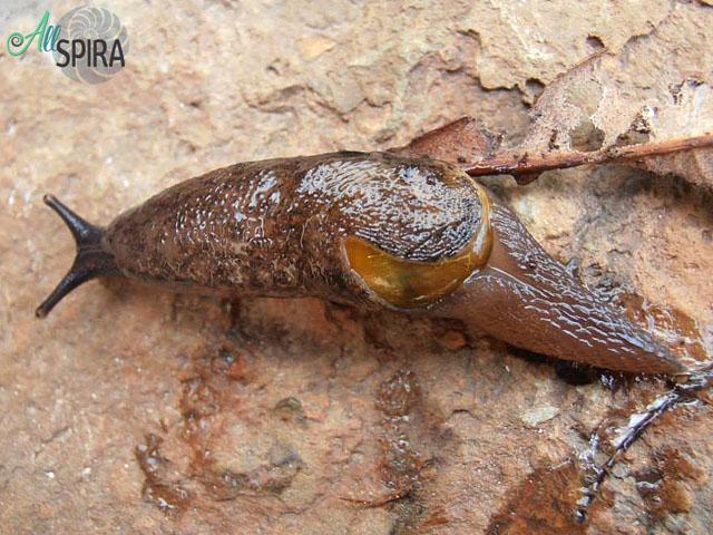 Alive Vitrinidae