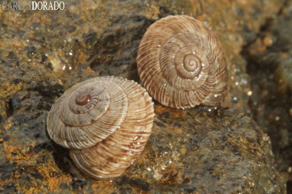 Alive Hygromiidae