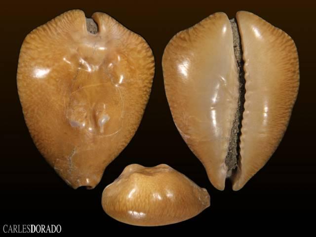 Barycypraea caputviperae