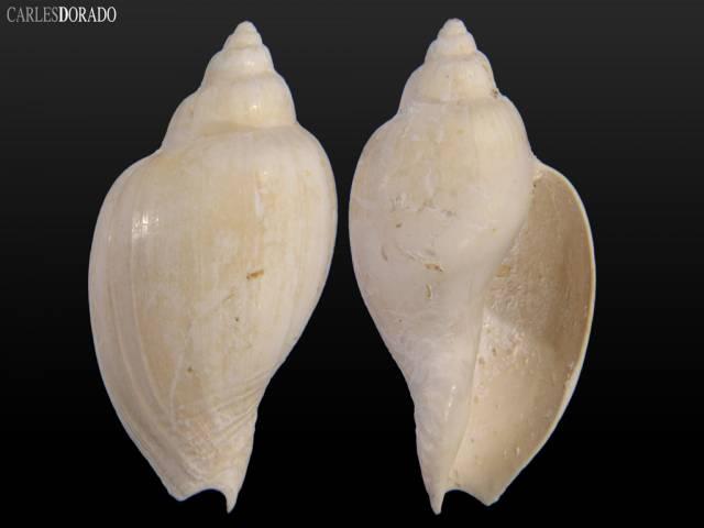 Cryptochorda stromboides