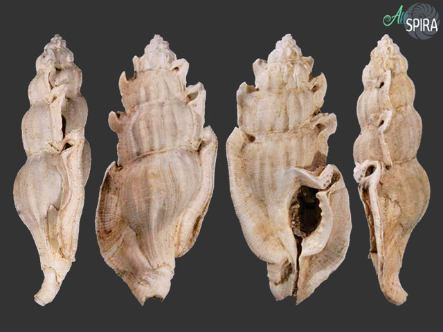 Lindapterys cervantesorum