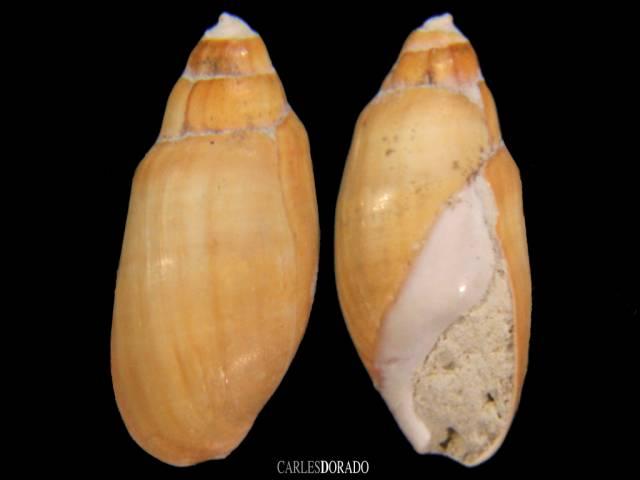 Melanopsis sp