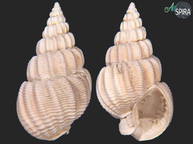Nassarius serratus