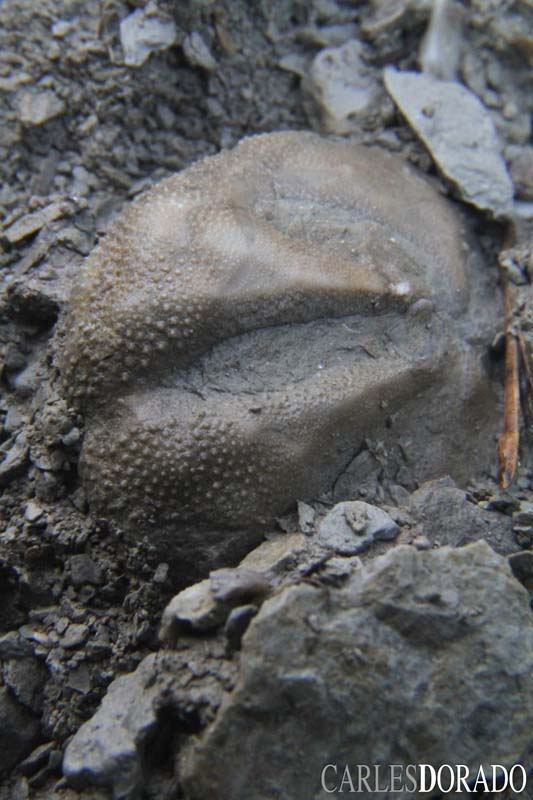 muestro una serie de ejemplares y especies observadas -y respetadas- en un yacimiento del Luteciano (Eoceno) de Cataluña