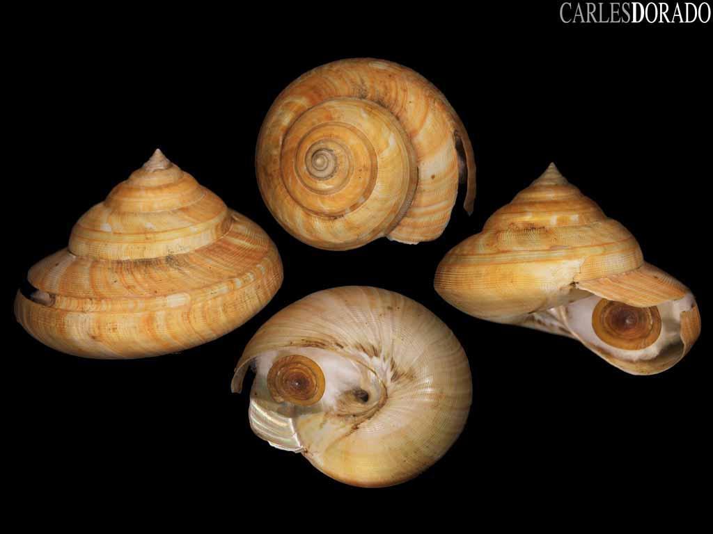 Bayerotrochus teramachii