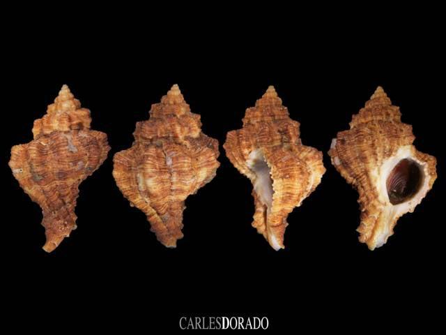 Hexaplex duplex f. canariensis