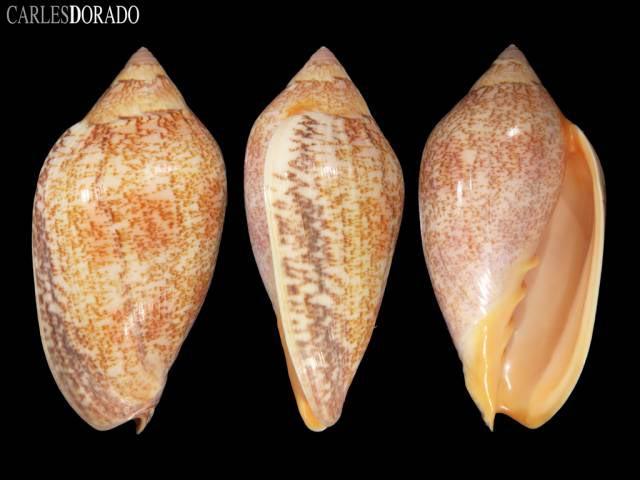 Amoria exoptanda