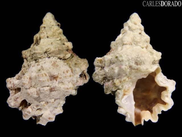 Bursa rhodostoma thomae