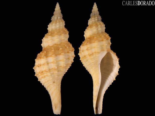 Granulifusus kiranus