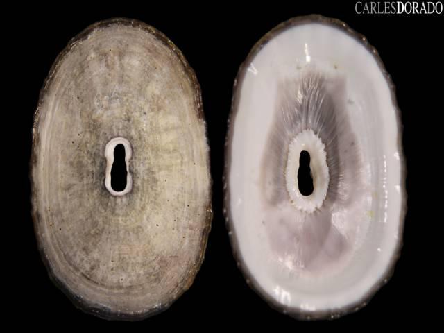 Fissurella crassa