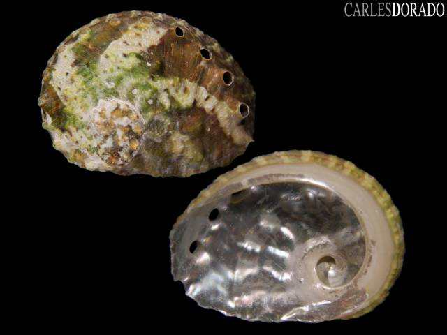 Haliotis vulcanicus