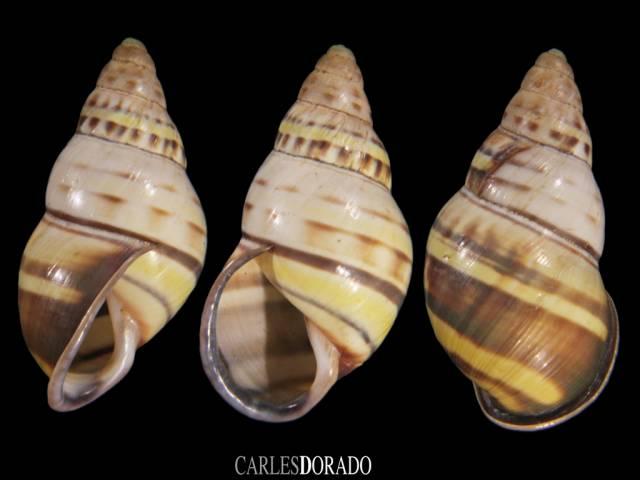 Amphidromus contrarius