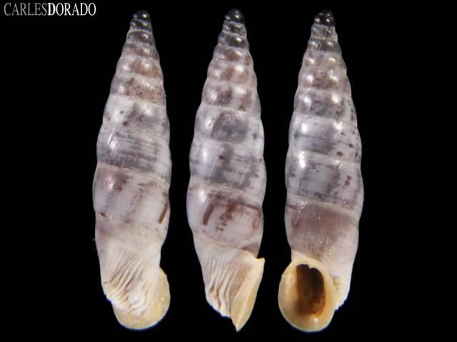 Albinaria coerulea