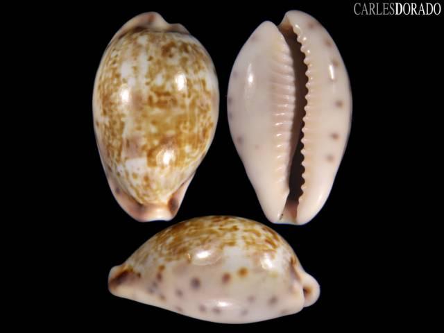 Zonaria zonaria f. gambiensis