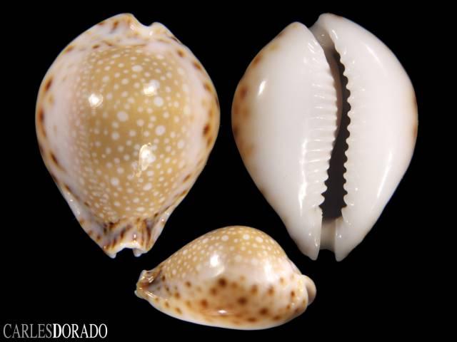 Erosaria lamarcki f. redimita phuketensis