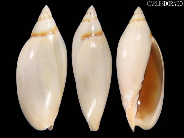 Amoria grayi