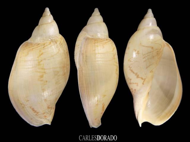 Odontocymbiola magellanica