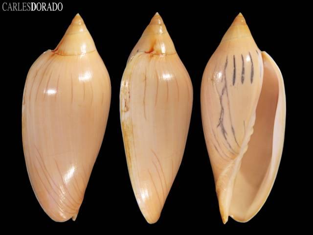 Amoria molleri