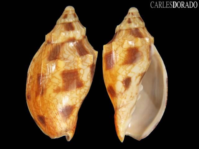 Odontocymbiola cleryana