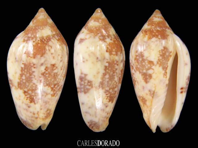 Plicoliva zelindae