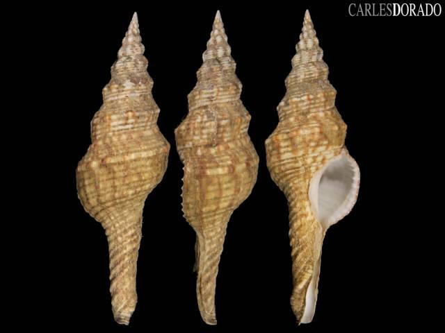 Marmarofusus nicobaricus