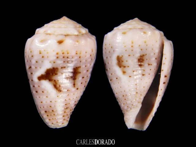 Conus coronatus