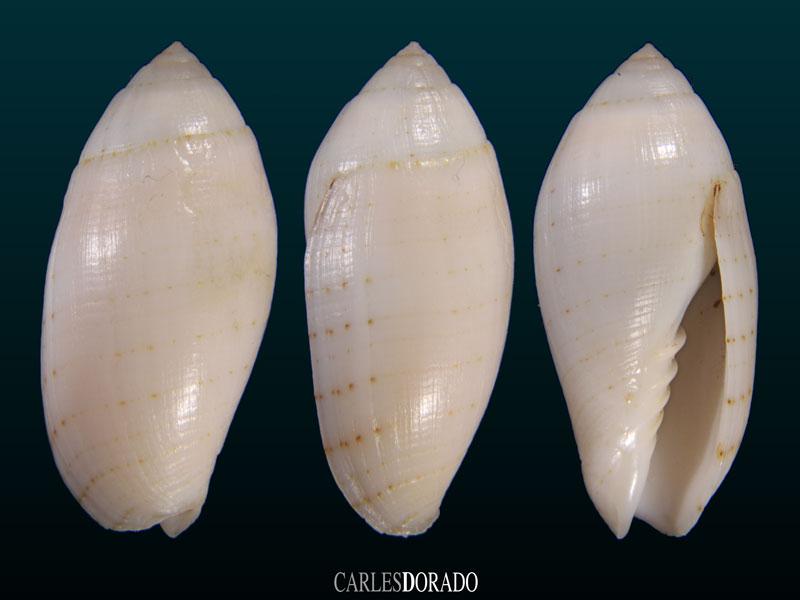 Pterygia nucea