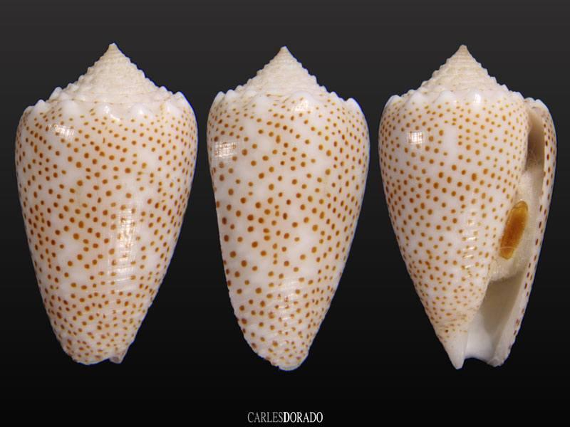 Subido a Conus arenatus var. aequipunctata