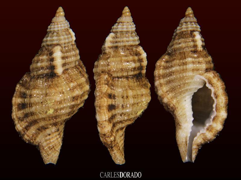Turritriton indomelanicum