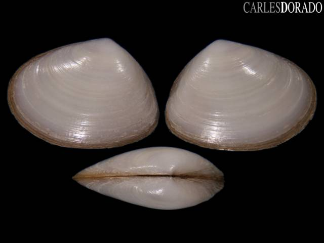 Paphies subtriangulata