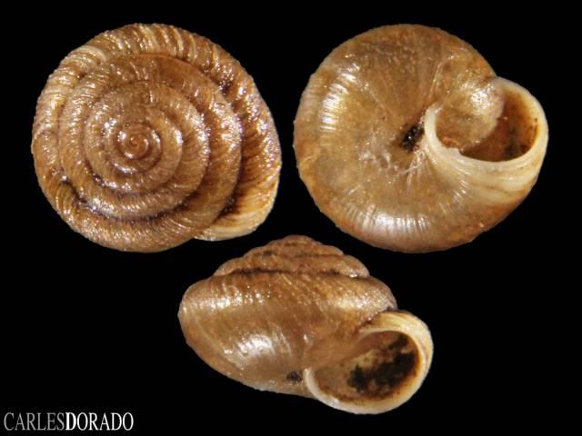Caseolus compactus
