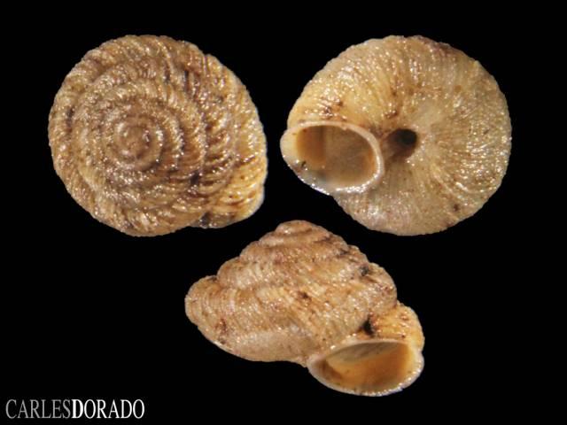 Caseolus portosanctus