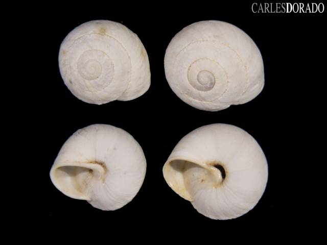 Sphincterochila cariosula hispanica