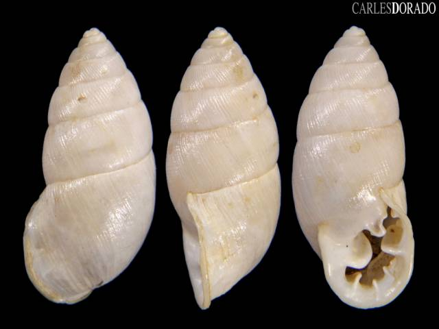 Plagiodontes multiplicatus