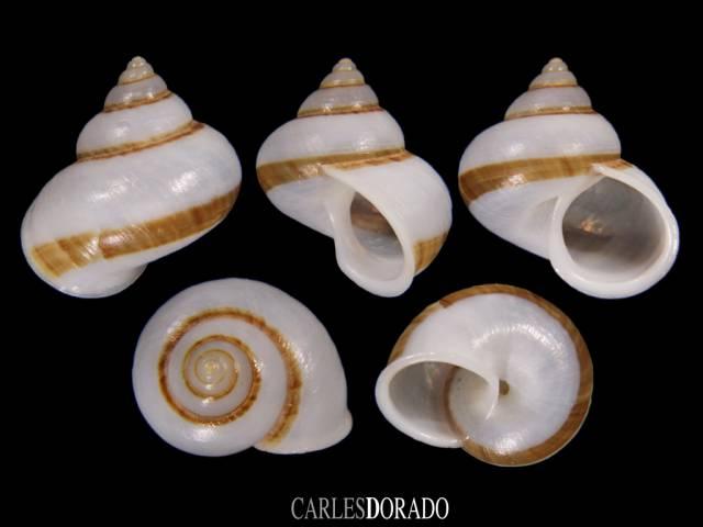 Leptopoma perlucidum