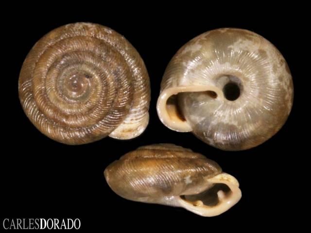 Oestophora barbula