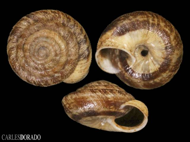 Discula polymorpha ssp.