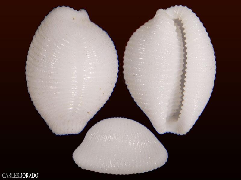 Trivirostra oryza