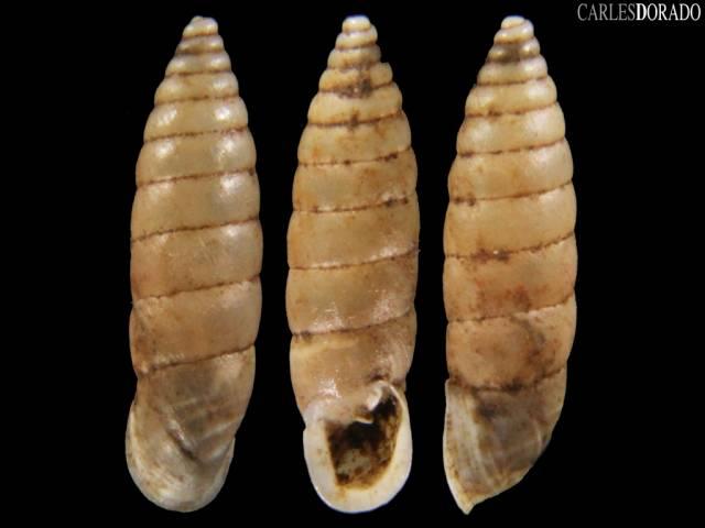 Granaria variabilis