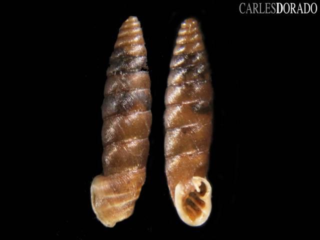 Abida secale affinis