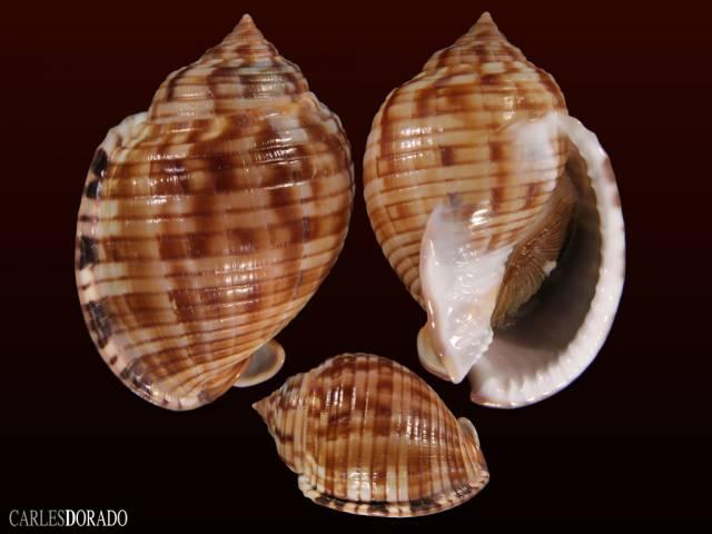 Semicassis granulata