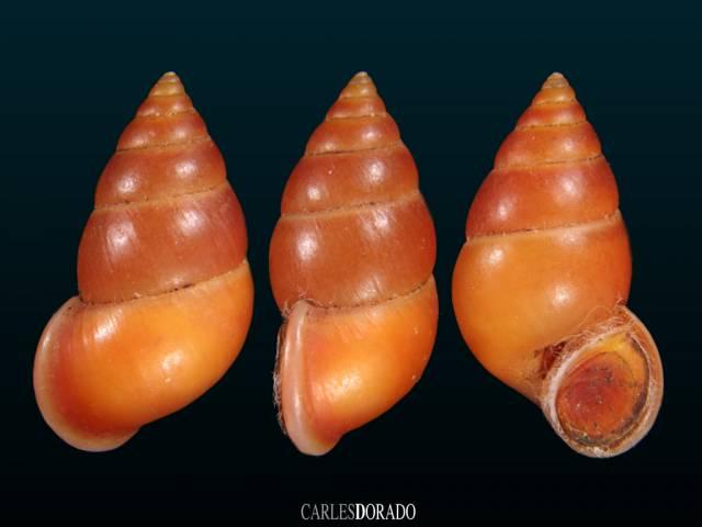 Hainesia crocea