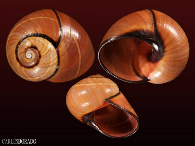 Polymita fuscofasciata